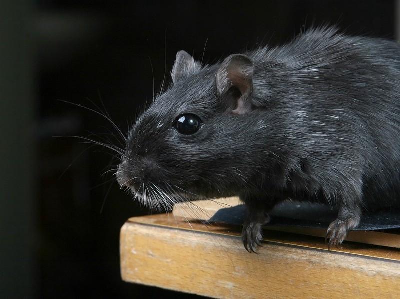 Нашествие крыс. Москвичам рассказали, как бороться с грызунами в доме