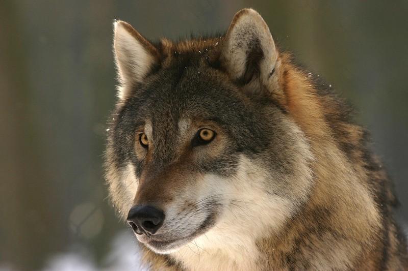 Бродивший в подмосковном Одинцове волк пойман