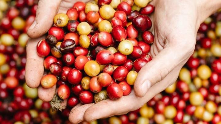 Четыре листочка «крестом»: какие ягоды смертельно опасны для человека